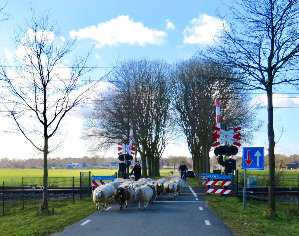4  In draf rennen de schapen over de spoorovergang Onno Wijchers © BDU media