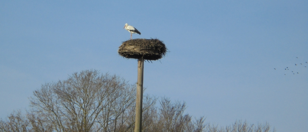 <p>De ooievaar is terug op zijn nest</p> <p>Kees Slijkerman</p> © BDU media