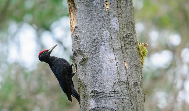 Mannelijke zwarte specht, te herkennen aan zijn rode 'petje', bij een vers uitgehakte nestholte