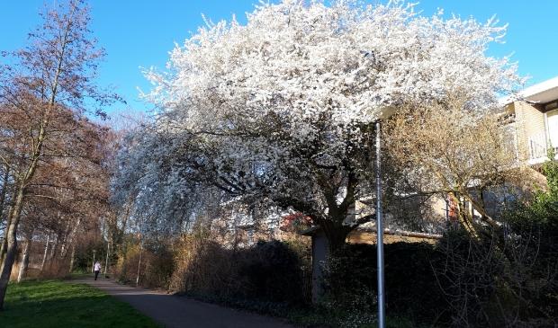<p>De bloesem kondigt het begin van de lente aan.</p>