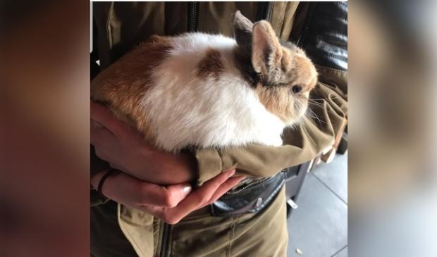 Gevonden konijn Joh.Vermeerstraat Voorthuizen