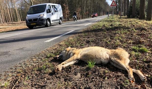 <p>De doodgereden wolvin op de weg tussen Ede en Arnhem.</p>