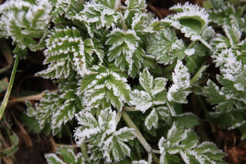 Kleine groene blaadjes afgezet met prachtige, witte ijskristallen. J. Jansen © BDU media