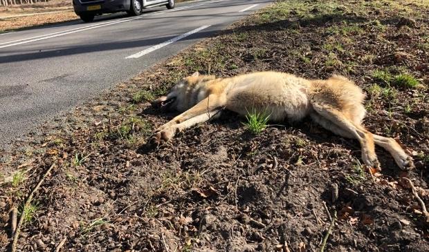 <p>De doodgereden wolvin, afgelopen zaterdag langs de N224 in Ede.</p>