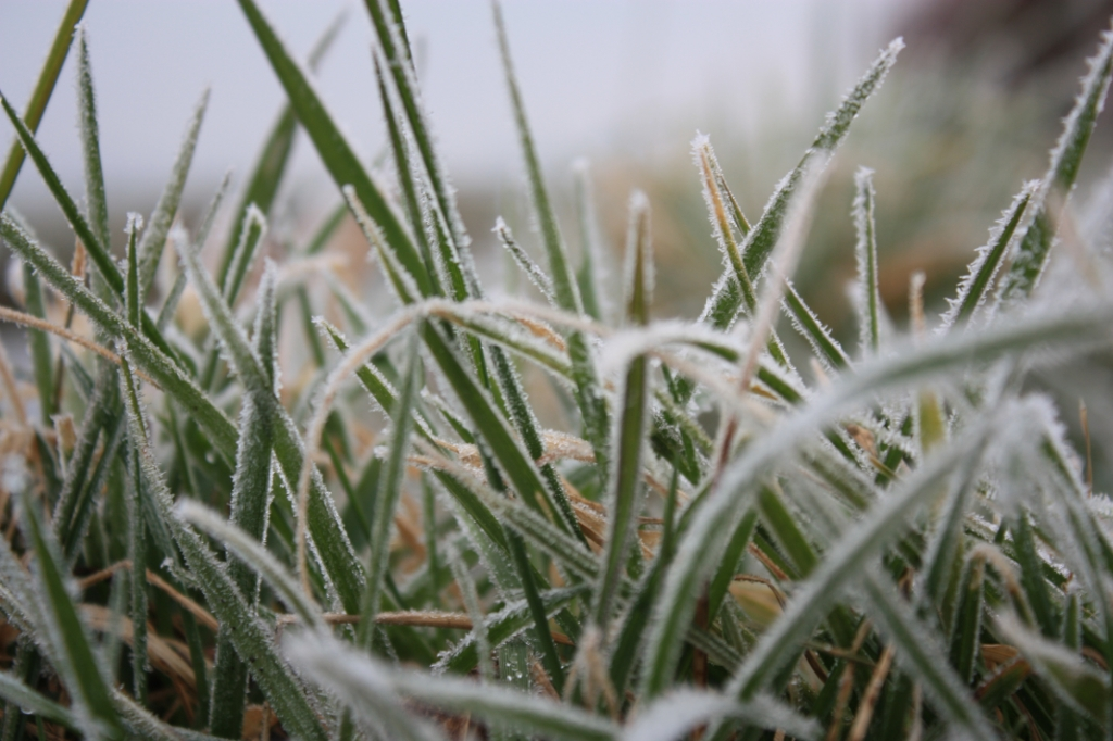 Icy (I see) grass. Hoe mooi kan gras zijn. J. Jansen © BDU media