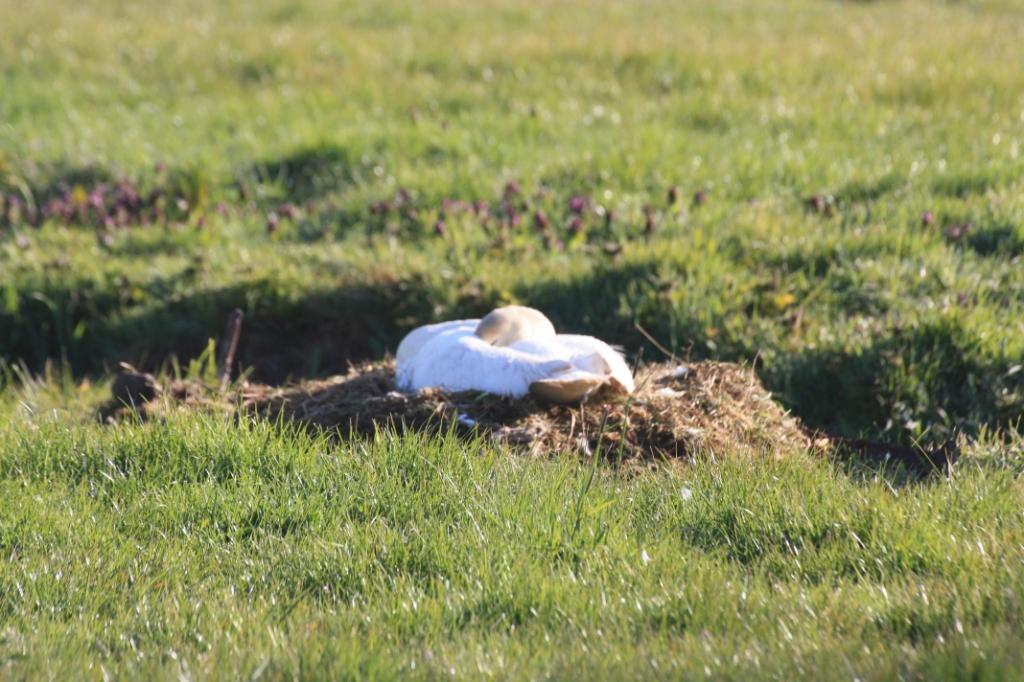 Deze zwaan soest op de eieren. J. Jansen © BDU media