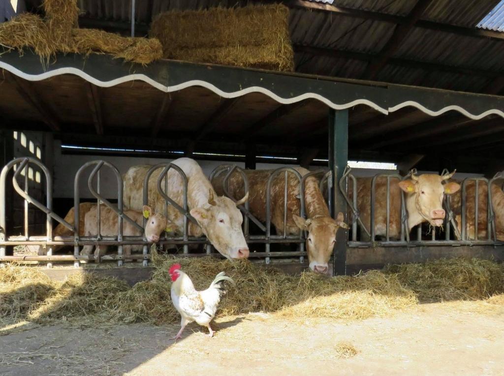 De Blonde d'Aquitaine Runderen staan nog op stal Onno Wijchers © BDU media