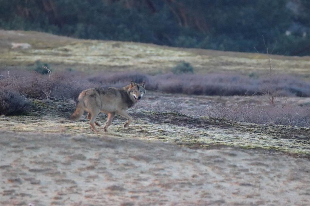 De wolf vrijdagmorgen 16 april in het Wekeromse Zand, gefotografeerd door Barnevelder Gerbrand Mulder. Gerbrand Mulder © BDU media