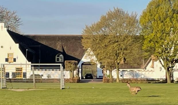 <p>Een hert zet een volle sprint in op evenemententerrein de Eng.</p>