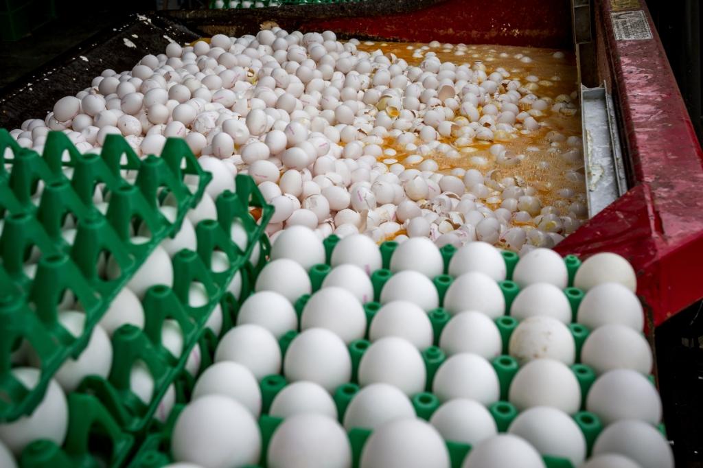 <p>Eieren waarin fipronil is aangetroffen worden vernietigd in augustus 2017.</p>