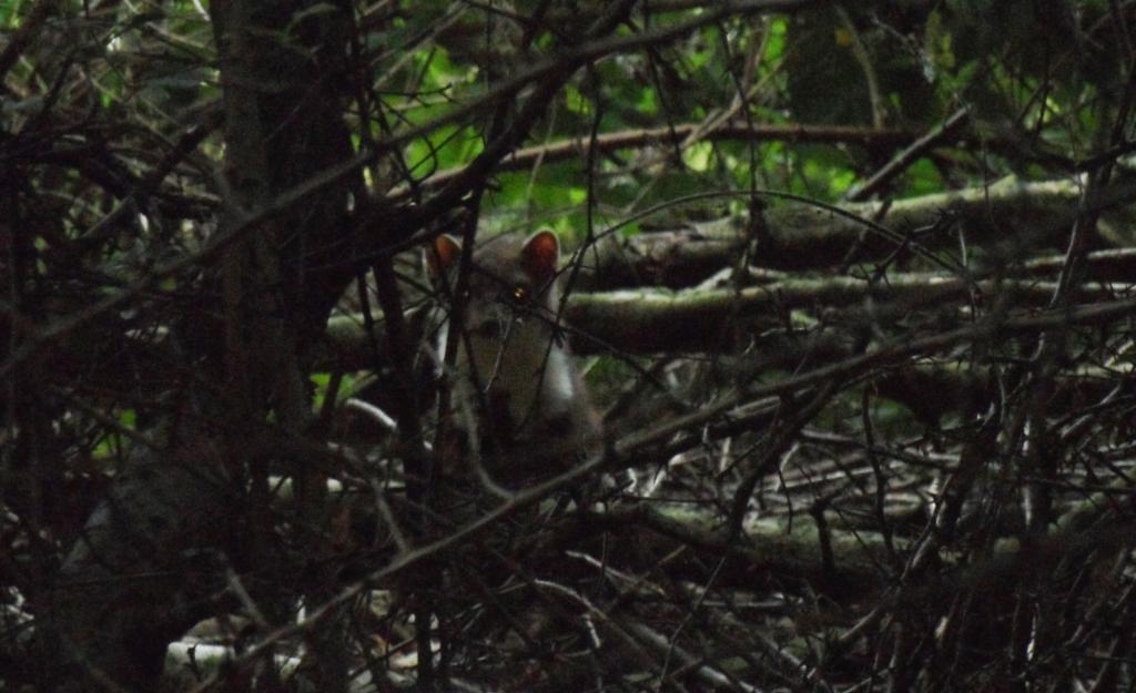 Steenmarter, doorgaans een nachtdier, in Zuid-Limburgs hellingbos. Kees van Reenen © BDU media