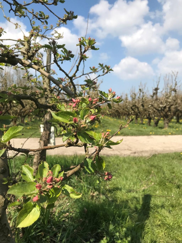 Appelboom met bloesemknop sandra © BDU media