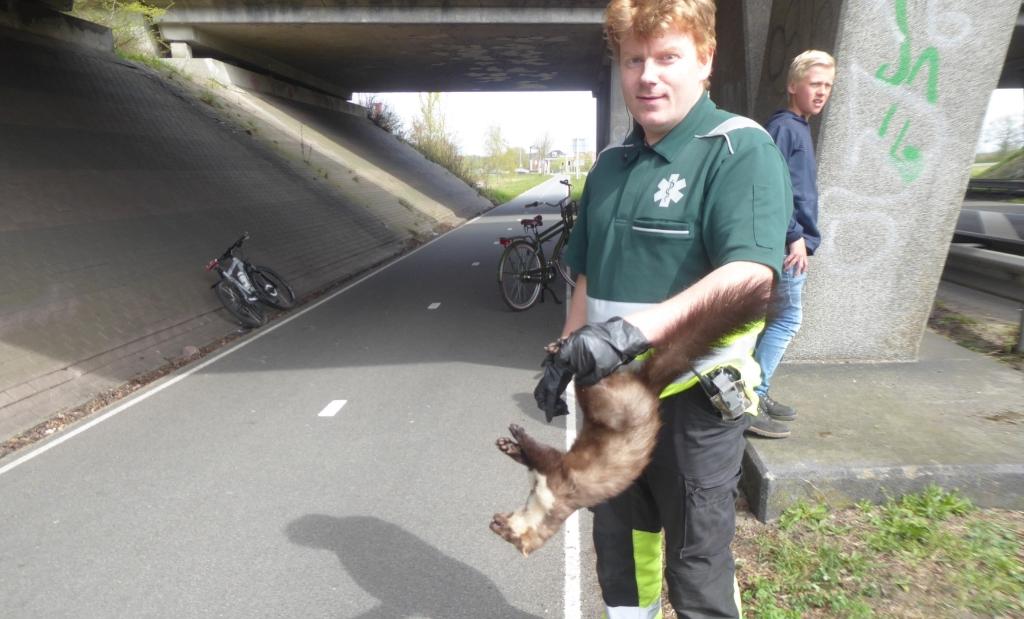 Medewerker van de Dierenambulance met doodgereden steenmarter Scherpenzeelseweg.  Kees van Reenen © BDU media