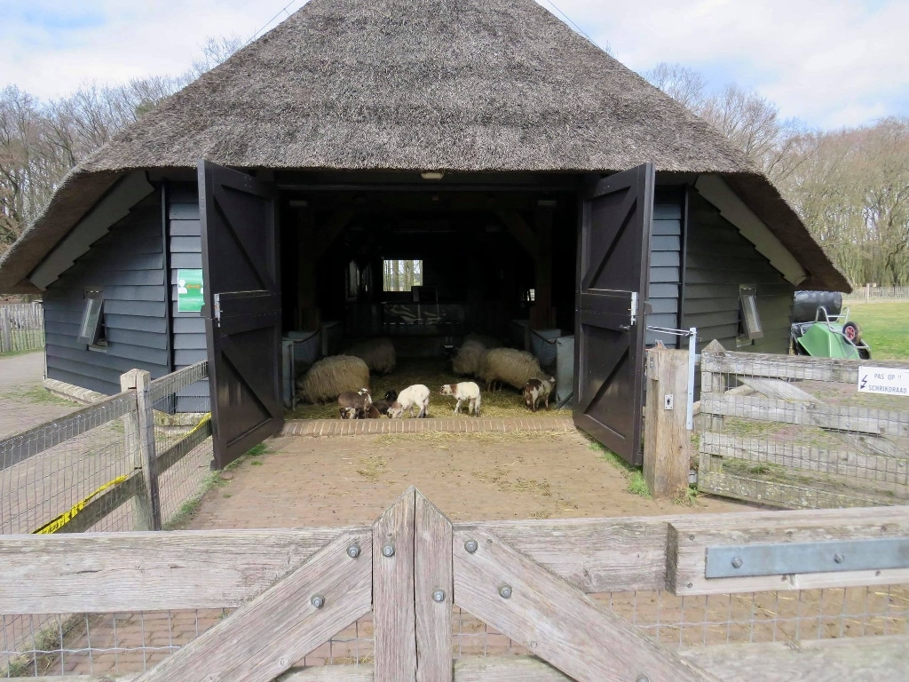 Drentse Heideschapen met pas geboren Lammetjes Onno Wijchers © BDU media