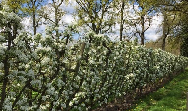 Peren, volop in bloei