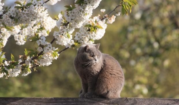 Kat onder de kersenboom