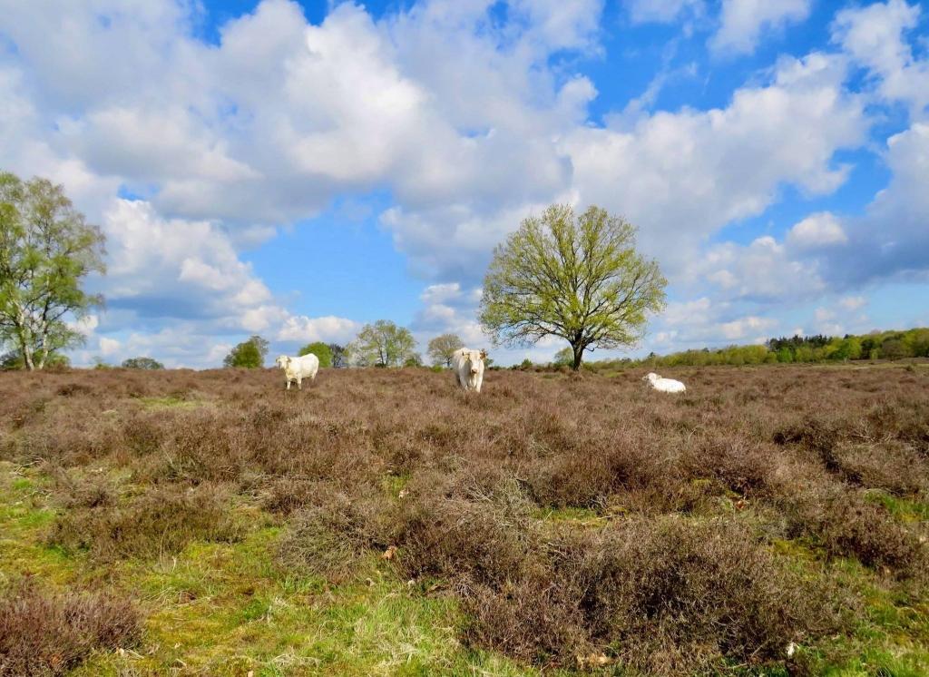 Charolais Runderen op de hei (foto met telelens) Onno Wijchers © BDU media