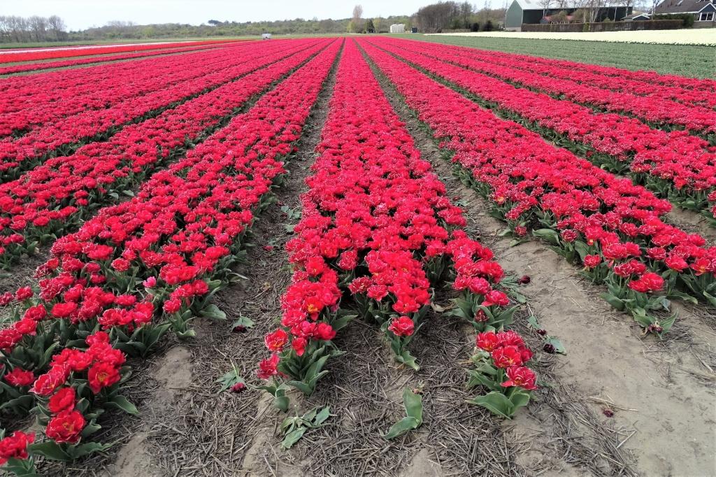 Tulpen Hans Blomvliet © BDU media