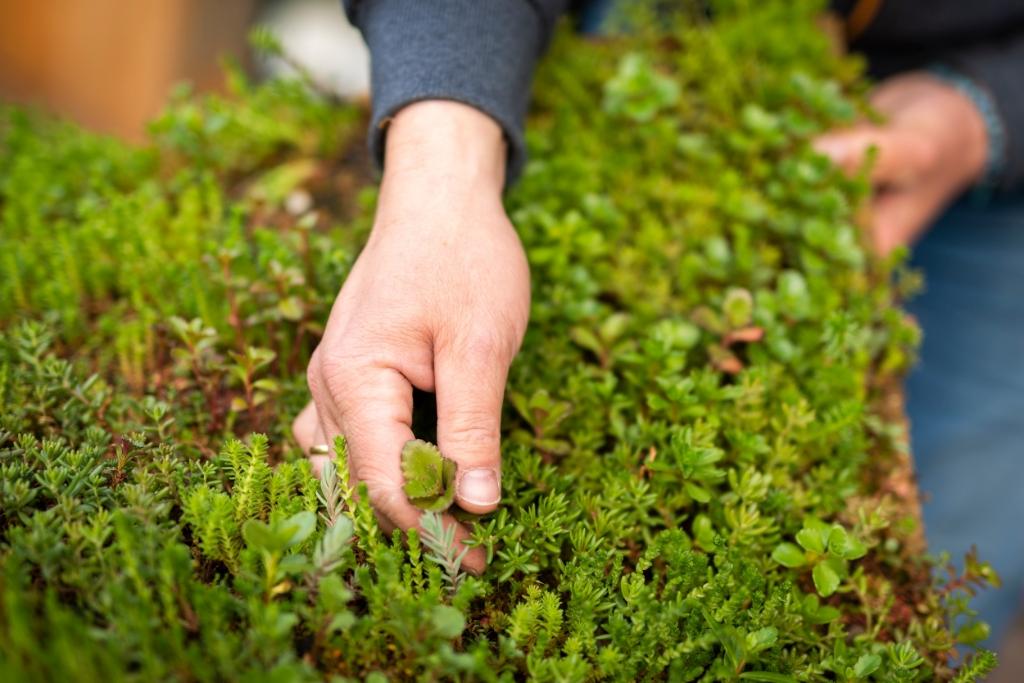 Sedum is een vetplantje dat water absorbeert en zorgt voor een schonere lucht. Pauw Media © BDU media