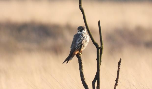 <p>,,De boomvalk, een prachtige vogel die ook ik niet vaak zie.&#39;&#39;</p>