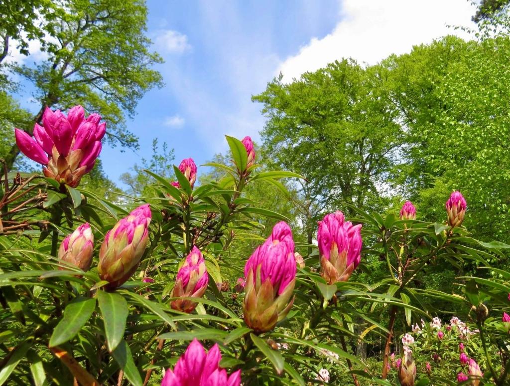 De  Rododendrons staan nog niet geheel in bloei Onno Wijchers © BDU media