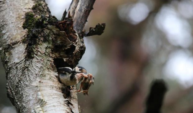 Kleine bonte specht ruimt zijn nest op.