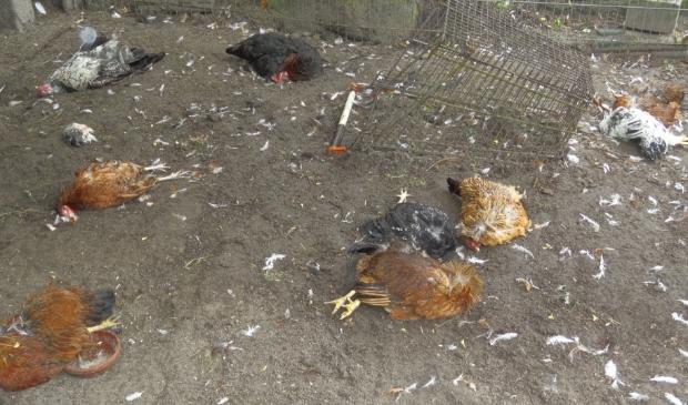 <p>De kippenren veranderde in een slagveld.</p>