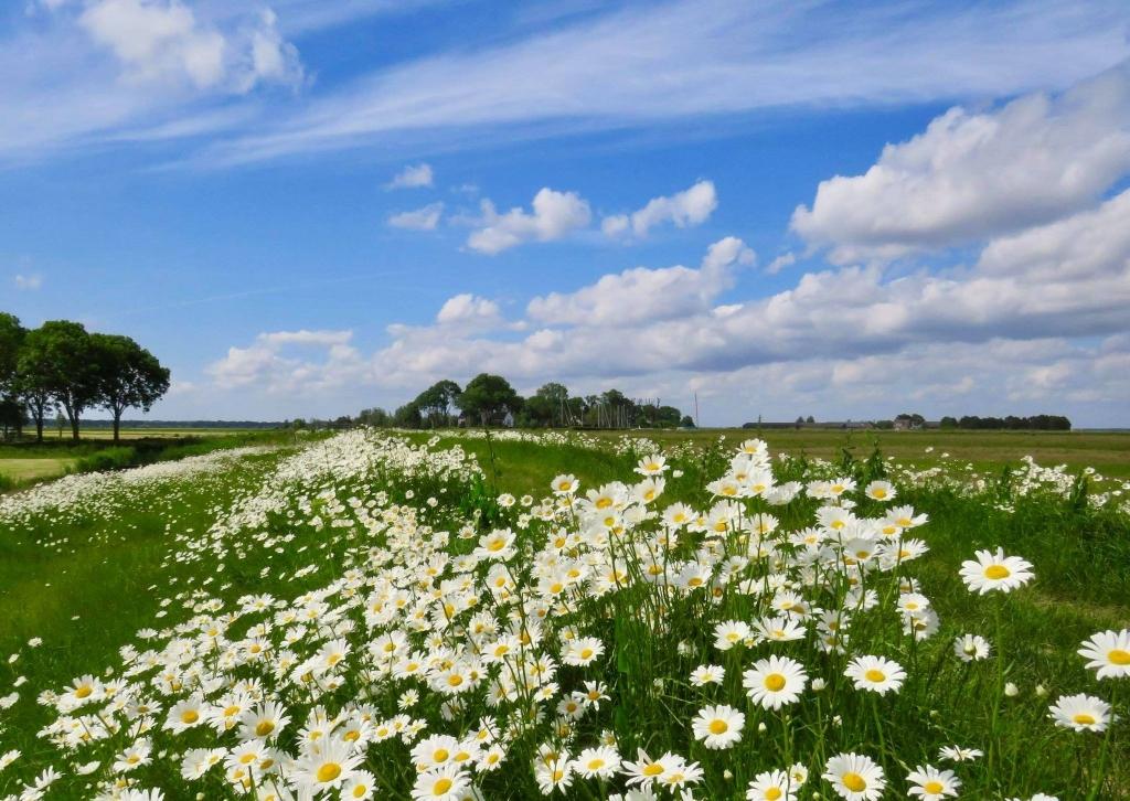 Prachtige velden met Margrieten met Gemaal/Sluisje op de achtergrond Onno Wijchers © BDU media