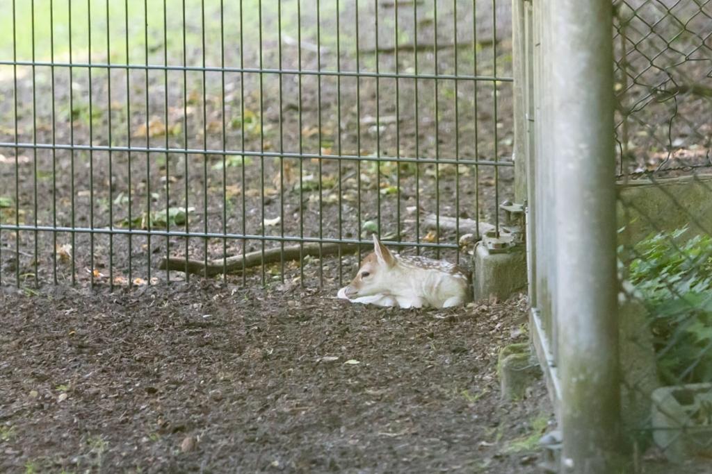 De eerste 2 bambi's zijn dit weekend en vanochtend (foto) geboren. Caspar Huurdeman © BDU media