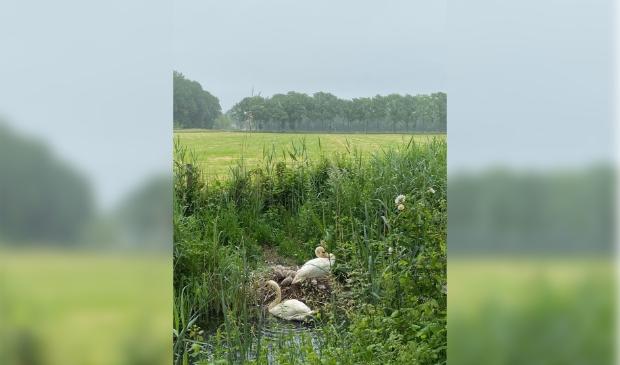 Nest jonge zwaantjes