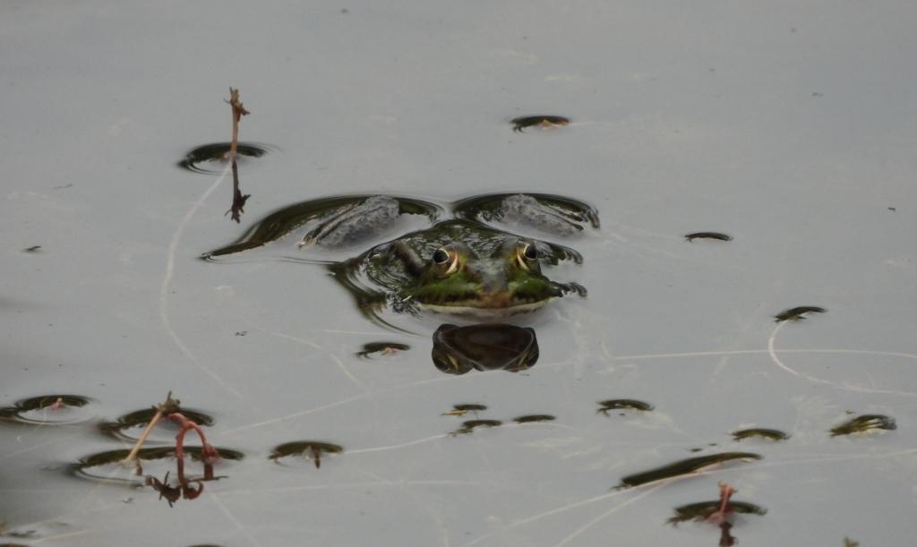 De groene kikker weet nieuwe poelen snel te vinden. Kees van Reenen © BDU media