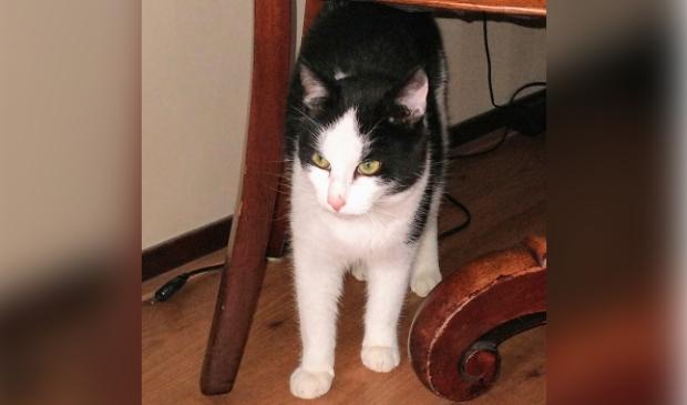 Vermiste kat Evertsenlaan Voorthuizen