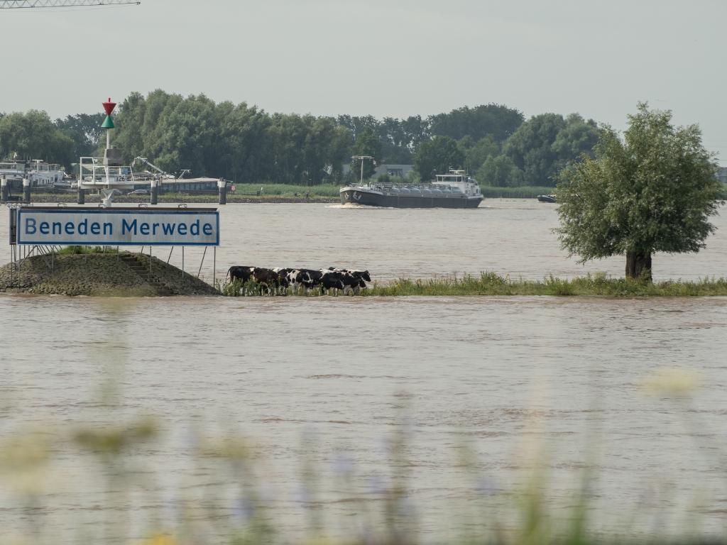 De koeien staan te wachten op de watertaxi, op de splitsing van de Nieuwe en de Beneden Merwede. Arie Jan van Termeij © BDU media
