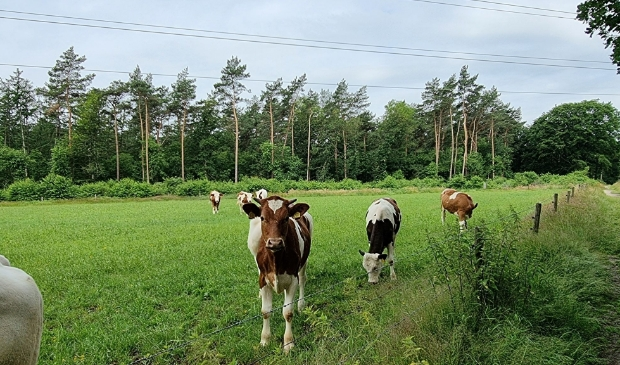 Staan er straks nog koeien in de wei in de Gelderse Vallei?