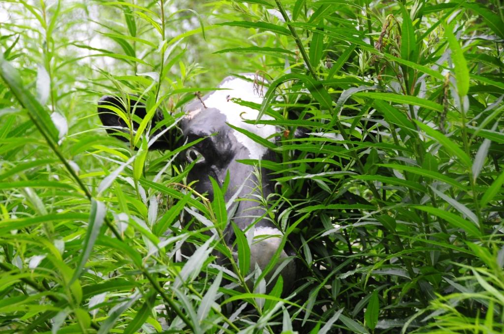 Een koe tussen het groen museum De Koperen Knop © BDU Media