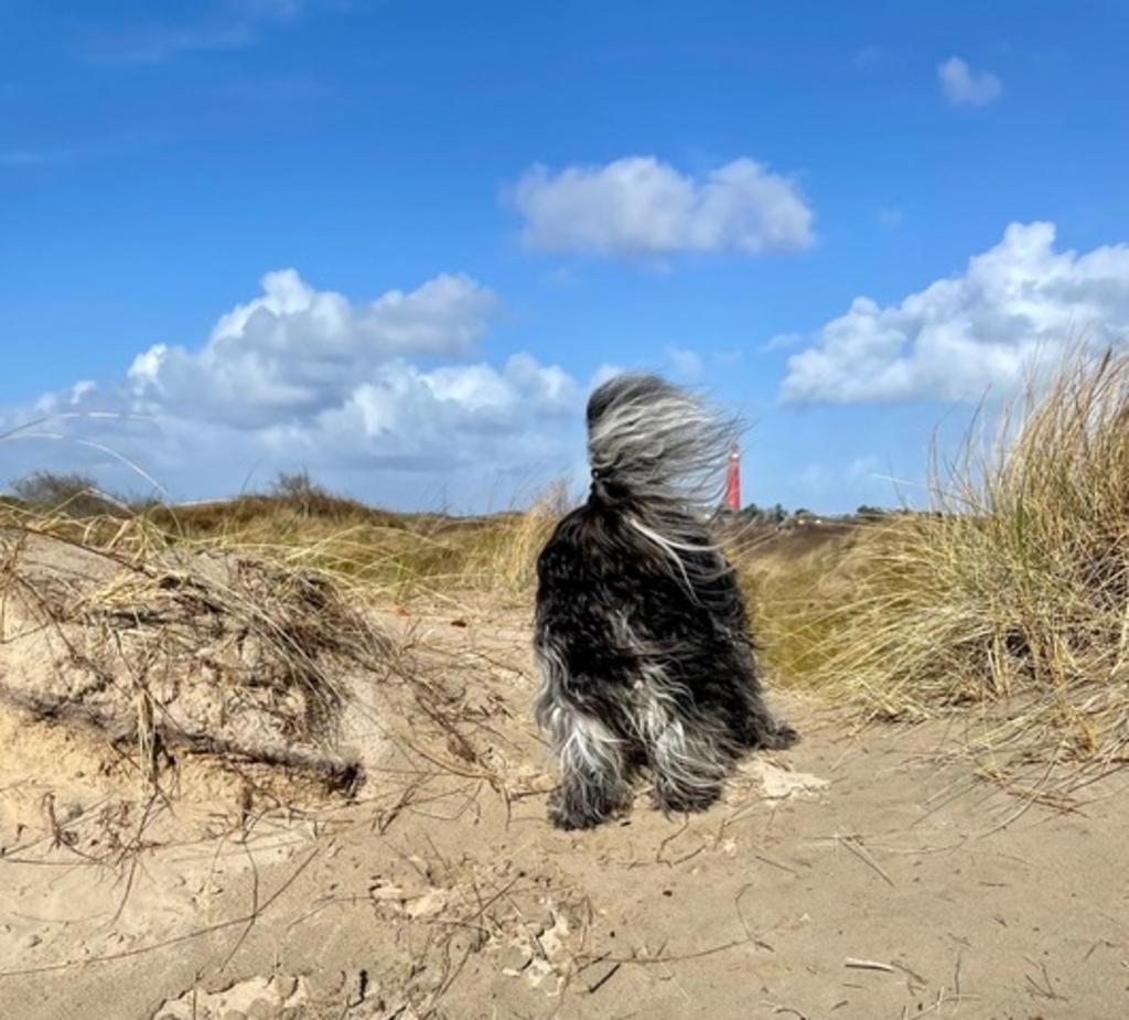 'Schapendoes Luuk geniet van een mooie wandelvakantie, dit voorjaar, op Schiermonnikoog. Hier lijkt hij te kijken naar de vuurtoren met zijn staart in de wind.' Meiney Roffel © BDU media