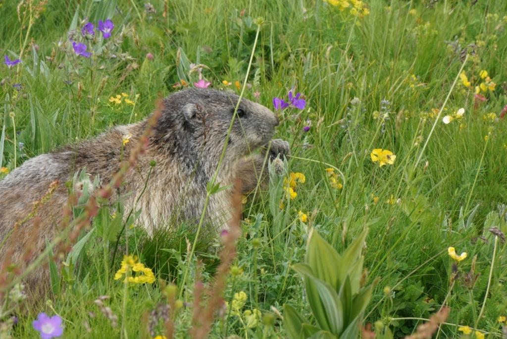 Foto van marmot, 12-07-2021,Col de la Cayolle, Frankrijk. Greetje Koevoets © BDU media