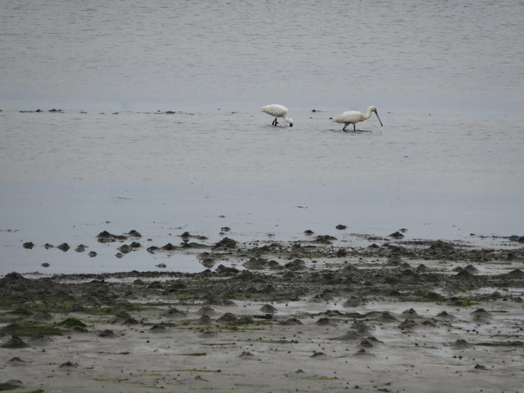 'Deze lepelaars kwamen wij tegen in Zeeland, in Wissekerke achter de dijk.prachtige vogels. De foto is genomen op zondag 25 juli.' Brigitte Vedder  © BDU media