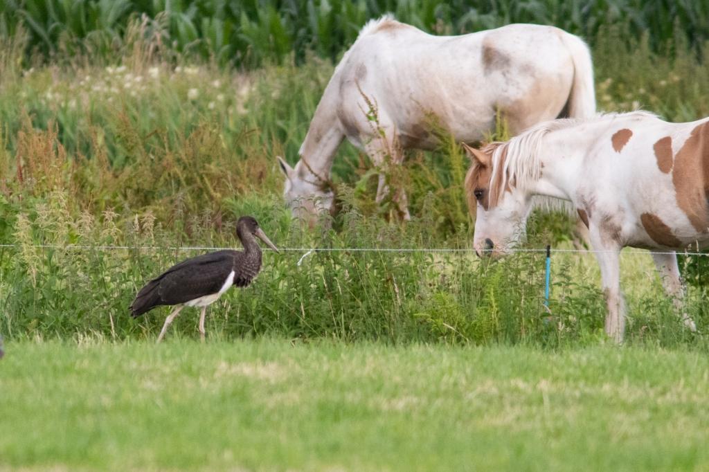 De zwarte ooievaar begroet de paarden. Caspar Huurdeman © BDU media