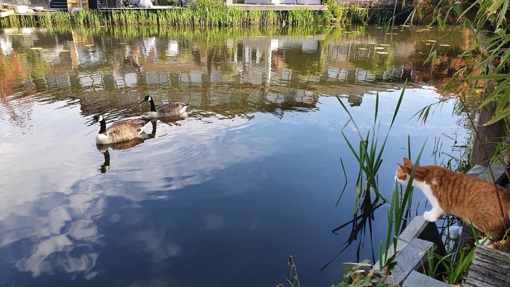 'Kat Boris, 9 maanden ziet 2 jonge ganzen voorbij zwemmen aan het Heelkruid. Boris is bijzonder geïnteresseerd!' Ronald Koopmanschap  © BDU media