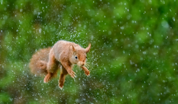 Een eekhoorn schudt tijdens een sprong in de stromende regen zijn vacht uit.