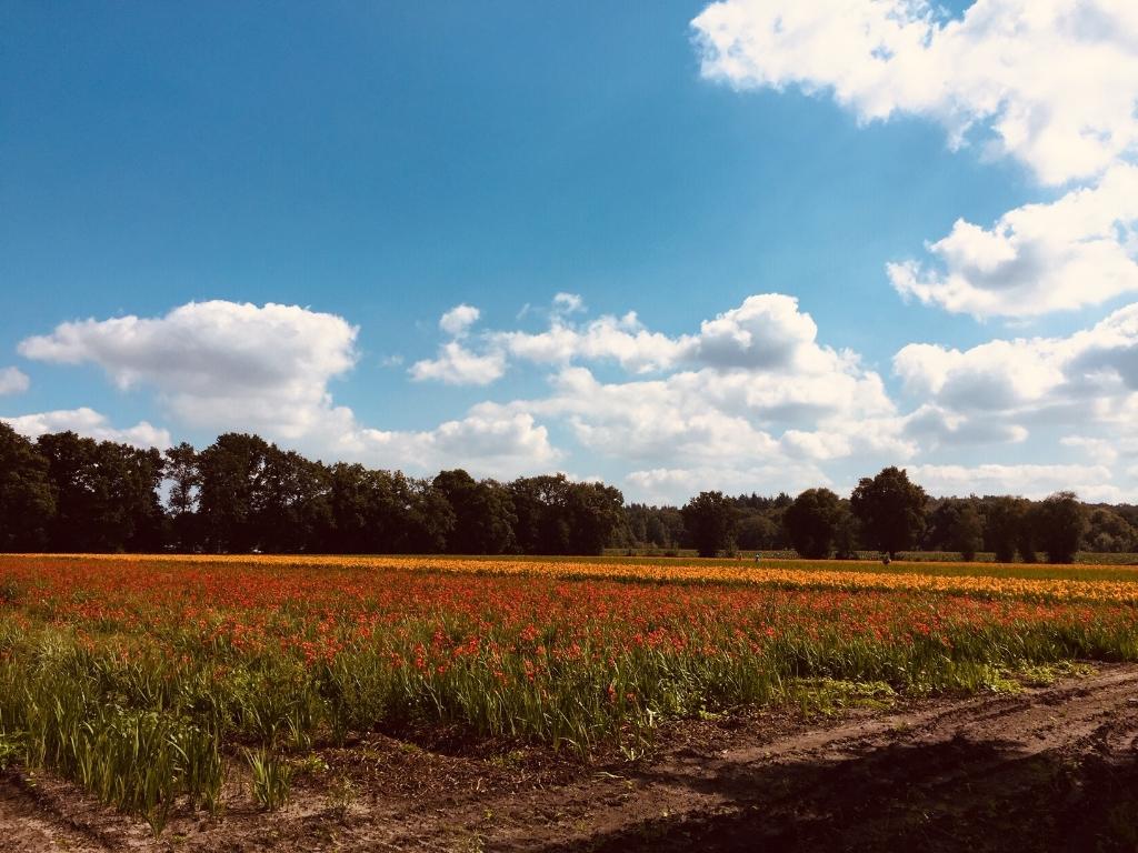 Crocosmiavelden aan de Ginkelseweg te Leersum, genomen op 25 augustus 2021.    I.P. Pijper van der Steen © BDU