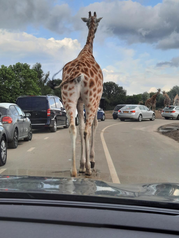 """,,Op Safari in de Beekse Bergen. Een beetje file.... een giraf op de weg."""" Marianne Schreurs © BDU Media"""