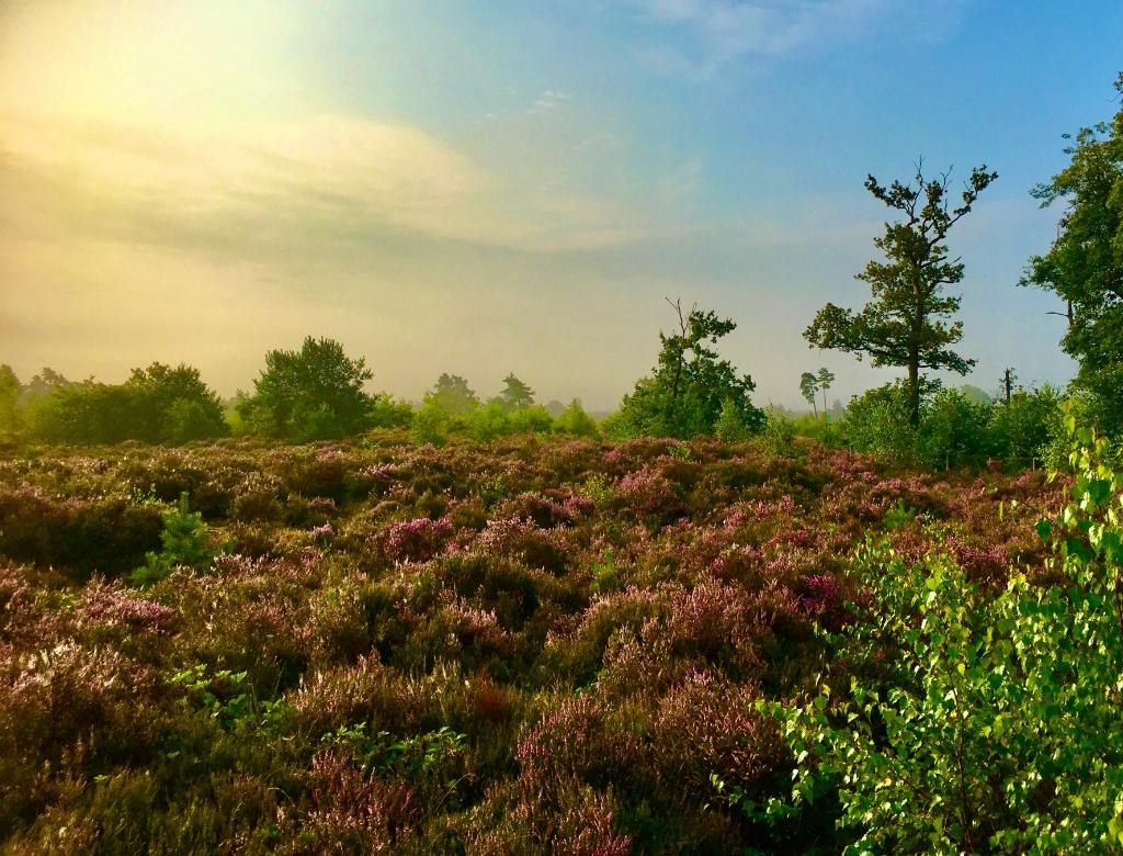 Heide in bloei op de Leusderheide aan de Doornseweg. Foto is genomen op zaterdagochtend 21 augustus jl. om 08.45 uur. In het nieuws werden mensen vooral gewezen op de heide in Drenthe die mooi paars is, maar dichtbij huis is het ook fantastisch.  Erwin Kamp © BDU