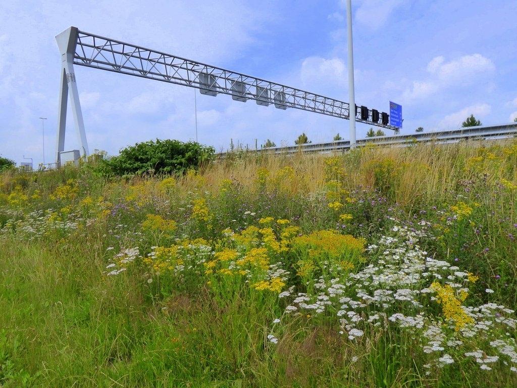 Uitbundige bloei onderaan de berm van de A12 in Driebergen op 10 juli 2021.  Riet de Lang © BDU