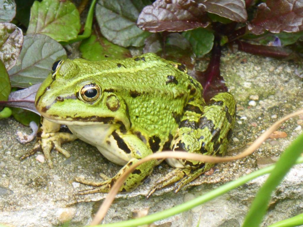 """,,Fauna in mijn eigen tuin bij de vijver. Dit is één van de zeven mooie groene kikkers waarbij je in zijn oog mijn reflectie ziet."""" Ton Olijslagers © BDU"""