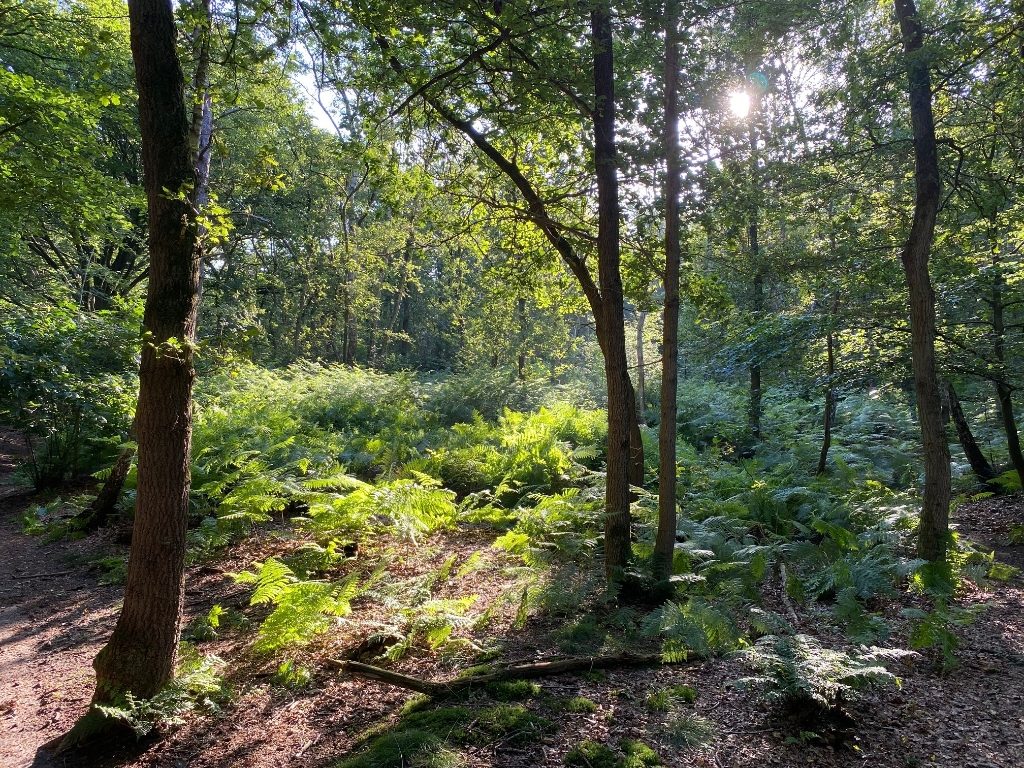 Zondagmorgen 18 juli in het Amerongse bos. De zon komt net door de bomen. Patrick Bruining © BDU