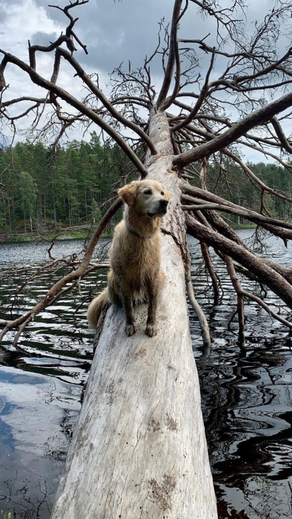 29 juli in Zweden: in het nationaal park van Tyresta. Lucca onze goldie is gek op boomstammen en water. Bianca Jonker © BDU media