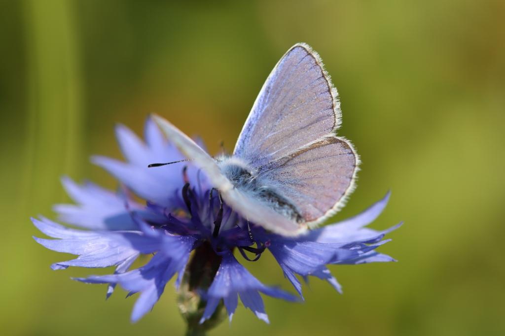 Icarusblauwtje op korenbloem Gerrie de With © BDU media