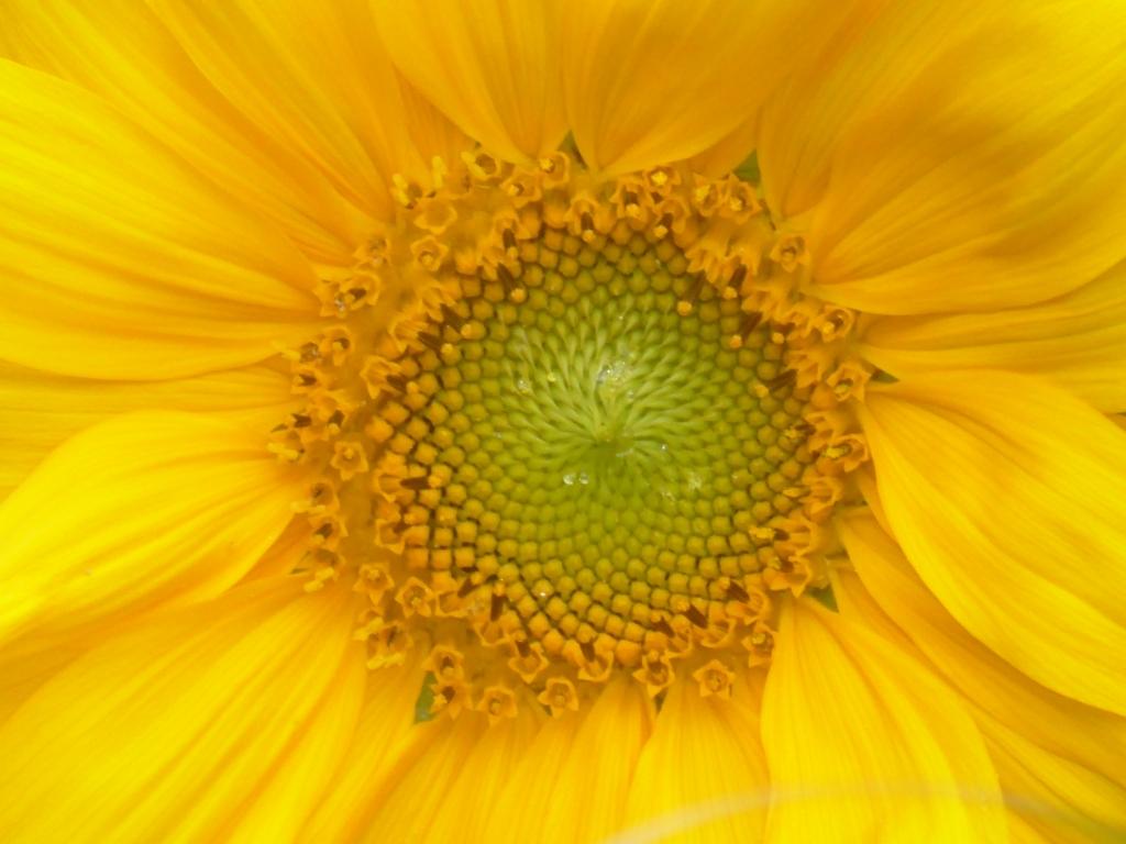 """,,Flora in mijn eigen tuin: het hart van een zonnebloem."""" Ton Olijslagers © BDU"""